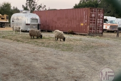 Sheep in Olema Campgrouns